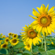 Sunflower fields with clear blue sky — Stock Photo