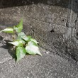 Stock Photo: Bo tree growing in concrete floor