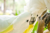 Yellow-crested white Cockatoos — Stock Photo