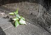 Bo árbol que crece en pisos de concreto — Foto de Stock