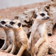 Stock Photo: Meerkats looking for something
