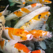 Stock Photo: Carp (Koi) fishes in the pond