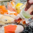 Carp (Koi) fish feeding — Stock Photo #34697275