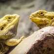 Yellow bearded dragons — Stock Photo