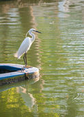 White crane looking to eat fish — Stock Photo