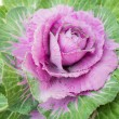 Purple decorative cabbage — Stock Photo
