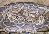 Close up snake — Stock Photo