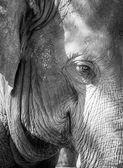 Elephant's eye — Stock Photo