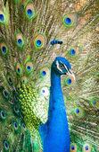 显示他美丽的羽毛的孔雀 — 图库照片