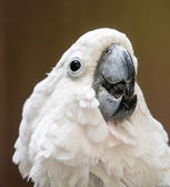 Portrait of cockatoo — Stock Photo