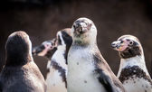 Penguins as a team — Stock Photo