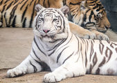 Tiger laid down looking at you — Stock Photo