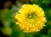 Marigold flower — Foto de Stock