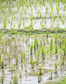 Rice planted in the field — Stock Photo