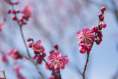 Pink plum blossom — Stock Photo