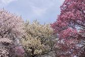 Cherry blossom flowers — Stock Photo