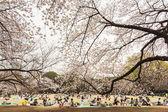 Sakura in Tokyo, Japan — Stock Photo