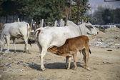 Calf drinking milk — Stock Photo