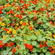 Nasturtium flower bed — Stock Photo #42490921