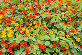 Nasturtium flower bed — Stock Photo