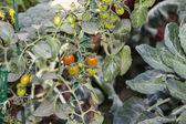 Pianta di pomodoro — Foto Stock