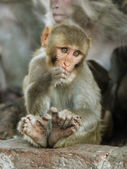 Young macaque monkey sitting on the stone — Stock Photo