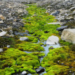 Stock Photo: Green moss growing at Spitsbergen (Svalbard)