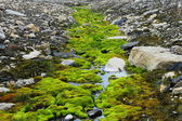 绿色的苔藓在斯匹次卑尔根成长(赫德) — 图库照片