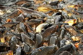 Carps in the Sacred Lake of Rewalsar — Stock Photo