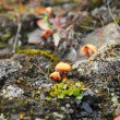 Stock Photo: Tundrmushroom near Barentsburg, Spitsbergen (Svalbard)
