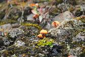 Tundra mushroom near Barentsburg, Spitsbergen (Svalbard) — Foto Stock