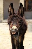 Yawn donkey — Stock Photo