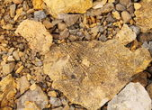Petrified leaf, Paleontology background from Spitsbergen rocks ( — Stock Photo