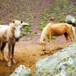 Two beautiful domestic horses in Himalaya — Stock Photo
