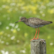 Common Redshank Bird on pole — Stock Photo