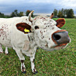 Stock Photo: One cow with mad snout