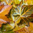 Sycamore leaves in autumn — Stock Photo