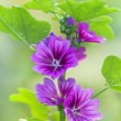 Purple mallow in sunny day — Stock Photo