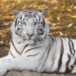 Stock Photo: Lying white bengal tiger among fallen leaves
