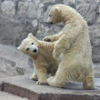 Wrestling of polar bear kids - Stock Photo