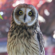 Marsh owl on pink blur background — Stock Photo