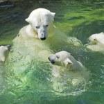 Bathing family of polar bears — Stock Photo