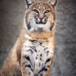 Stock Photo: Red (Сanadian) bobcat