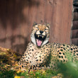 Stock Photo: Laughing cheetah
