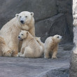 Stock Photo: Family of polar bears