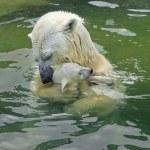 Bathing family of polar bears — Stock Photo #23496577
