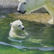 Polar bear mother is bathing her cub - Stock Photo