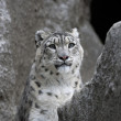 Stock Photo: Snow leopard in mountains