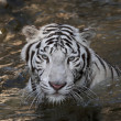 Bathing white bengal tiger — Stock Photo #23496965