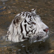 Side face portrait of a bathing white bengal tiger — Stock Photo